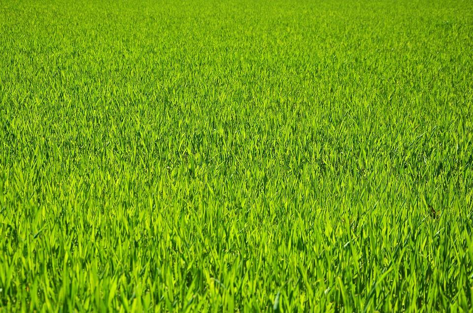 crabgrass lawns